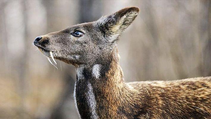 India has loneliest musk deer in the world