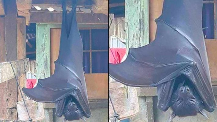 Picture of human-sized bat from Philippines goes viral
