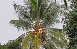 Coconut Tree Burnt