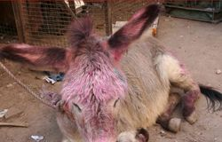 Donkey With Holi